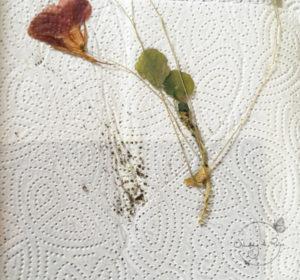 herbarium wie lange blätter pressen